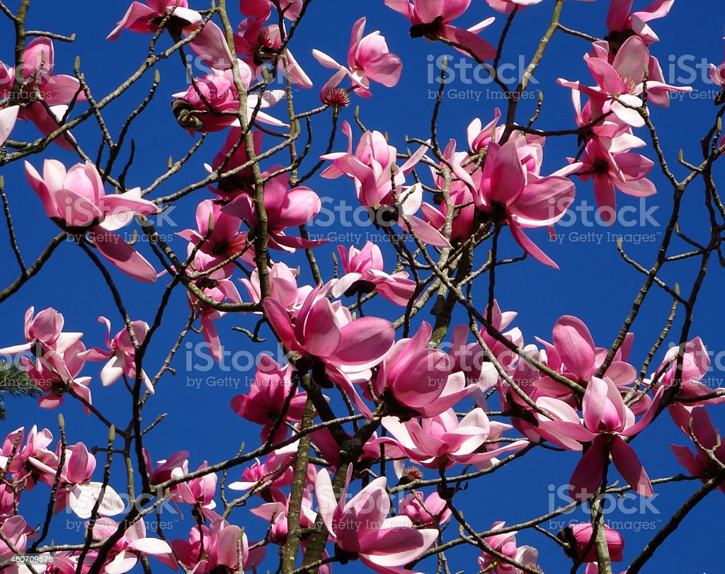 Image of pink magnolia flowers growing on large tree, blue-sky stock photo
