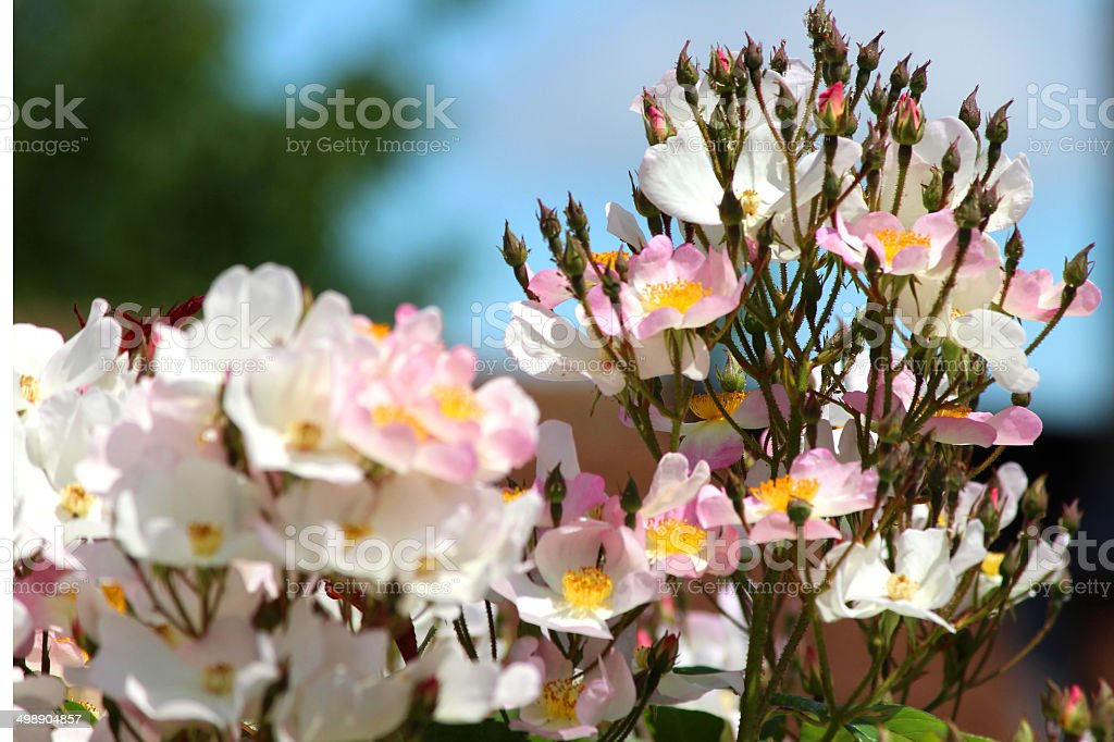 Image of pink roses against blue sky, climbing rose, climber stock photo