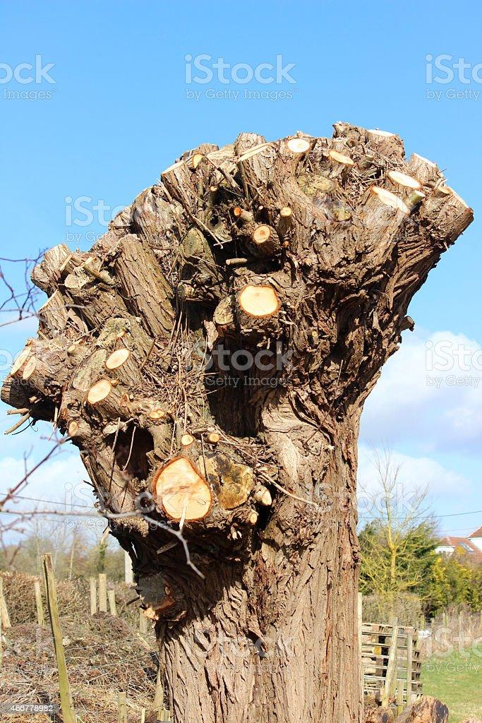 Image of pollarded crack willow tree (salix fragilis), heavily pruned stock photo