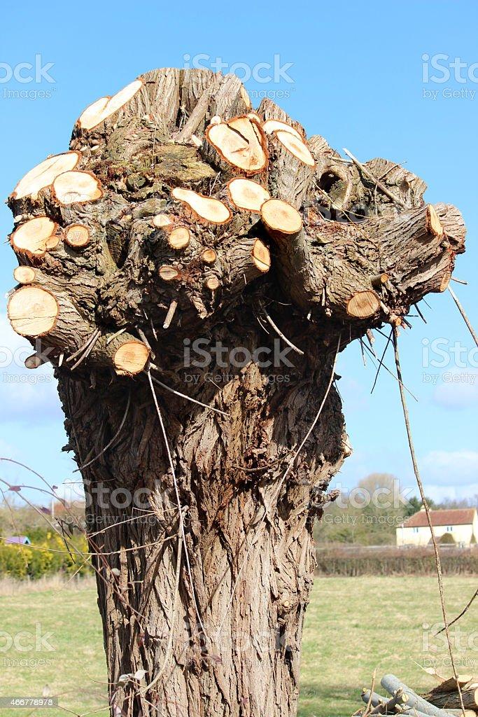 Image of pollarded crack willow tree (salix-fragilis), pruned by tree-surgeon stock photo