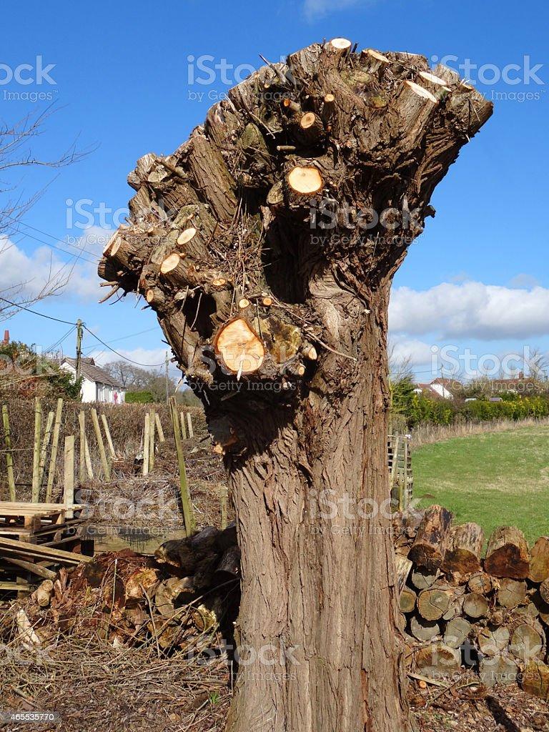 Image of pollarded crack willow tree (salix fragilis), pruned trunk stock photo