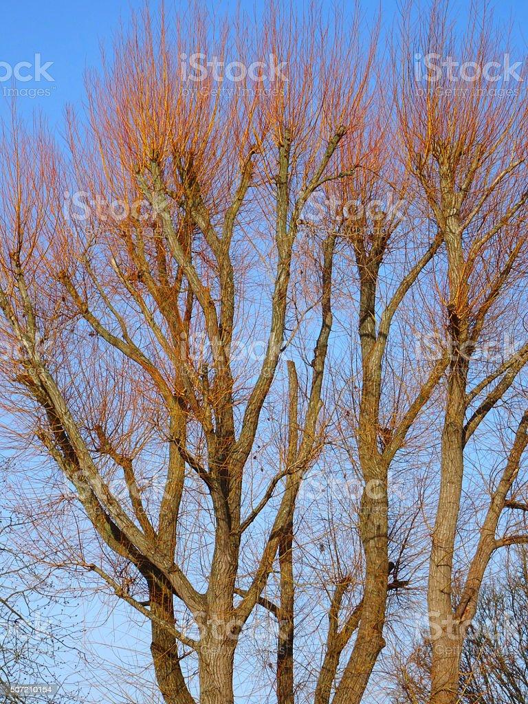 Image of pollarded crack willow trees (Salix fragilis), orange shoots stock photo
