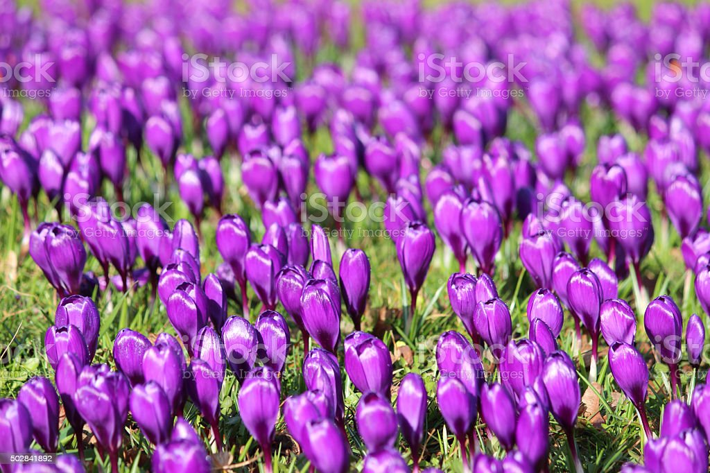 Image of purple crocus buds opening on spring garden lawn stock photo