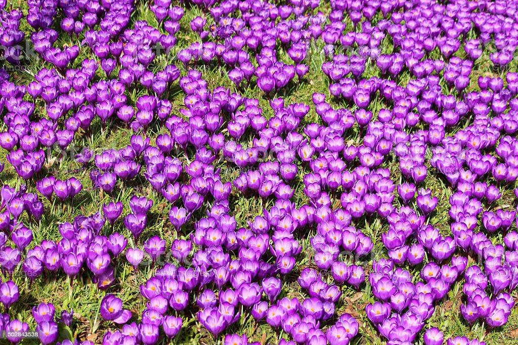 Image of purple crocus carpet on sunny spring garden lawn stock photo