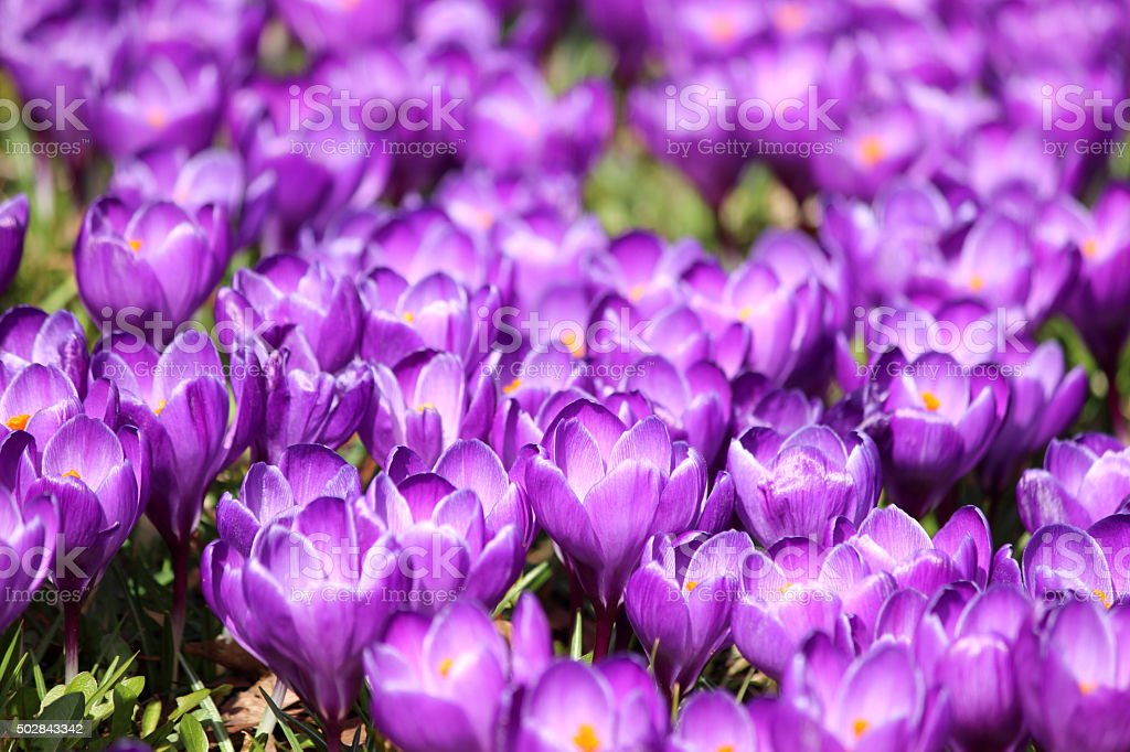 Image of purple crocus clusters covering springtime garden lawn stock photo