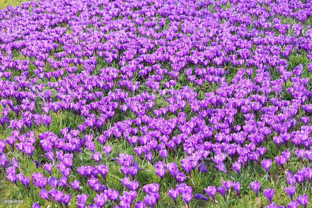 Image of purple crocus flowers and leaves growing in field stock photo