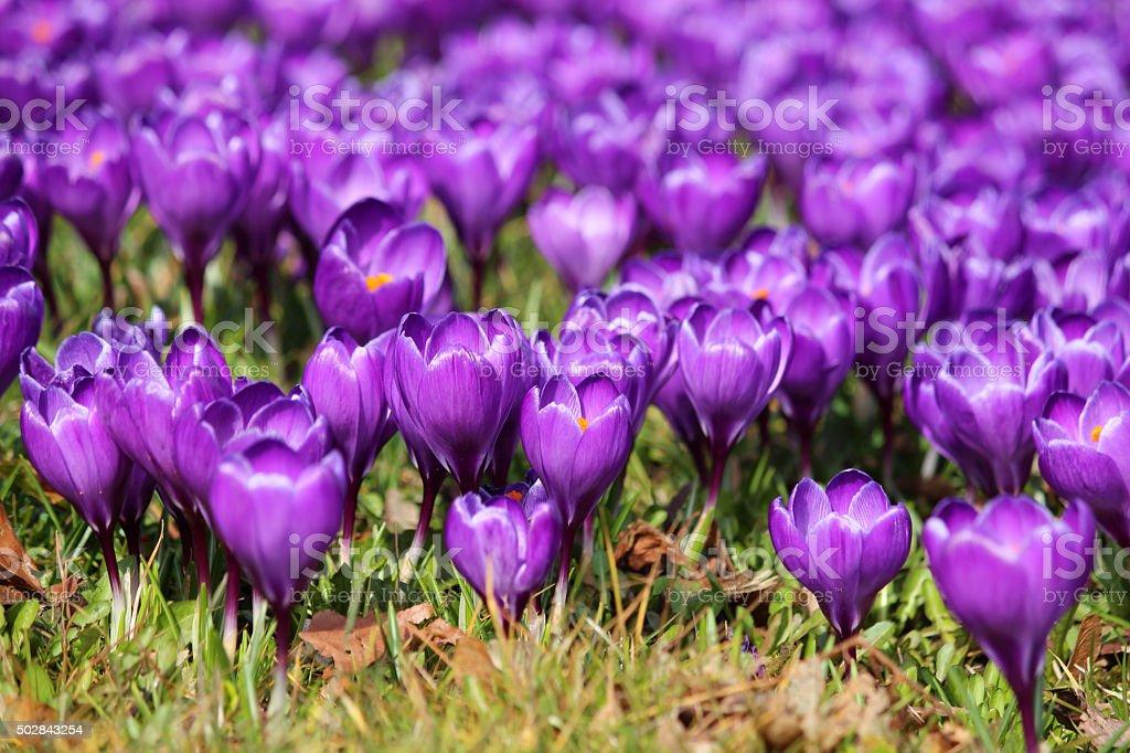 Image of purple crocus flowers and leaves growing in meadow stock photo