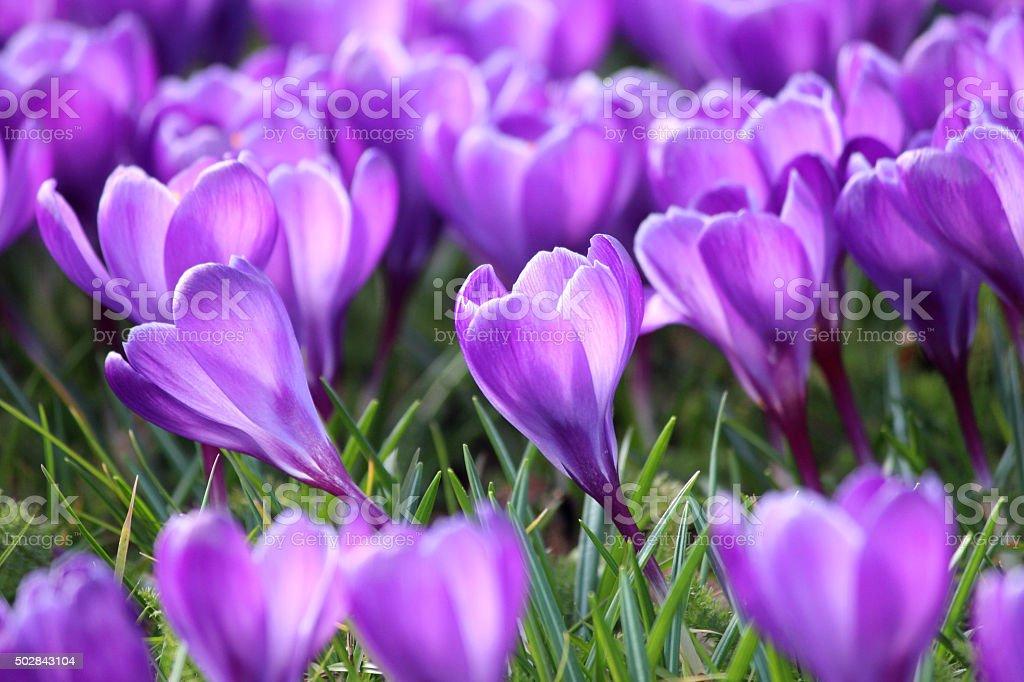 Image of purple crocus flowers blooming in sunny field stock photo