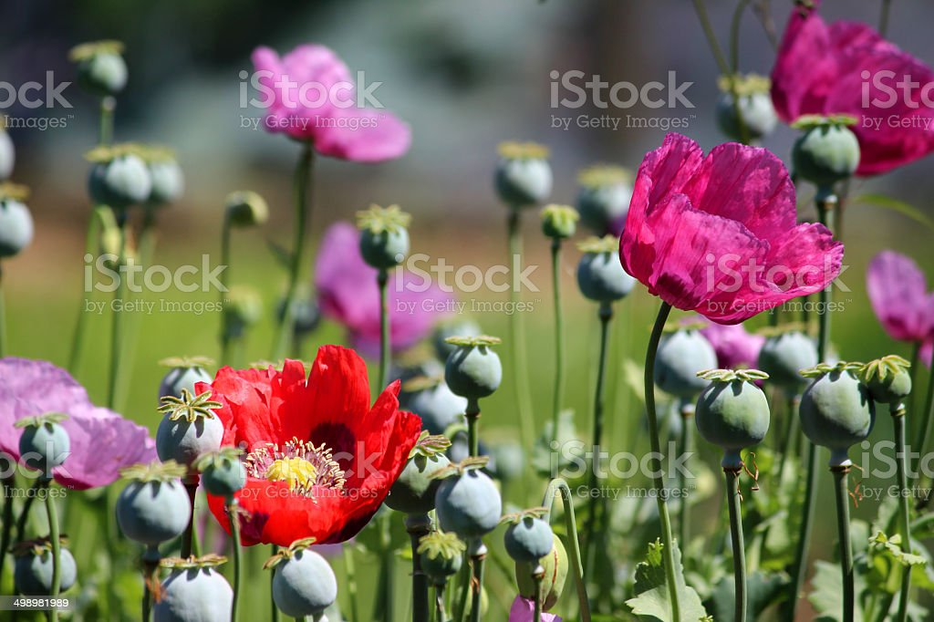 Image of purple / red / pink poppy flowers, poppies, seed heads stock photo