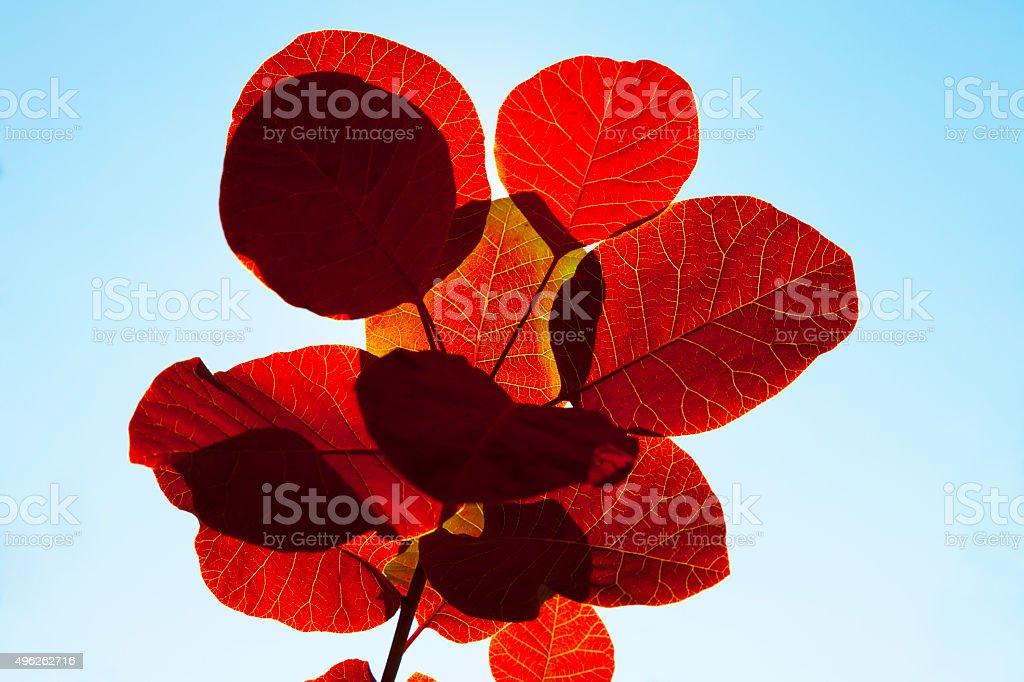 Image of purple smoke bush flowers, Cotinus coggygria 'Royal Purple' stock photo