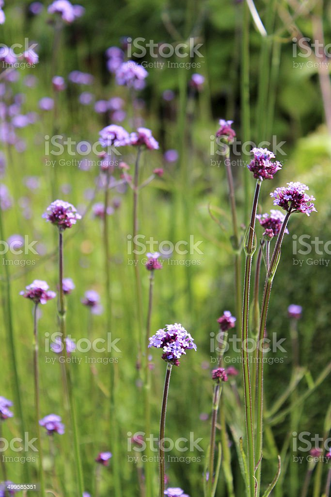 Image of purple Verbena flowers, Verbena bonariensis (Argentinean vervain) stock photo