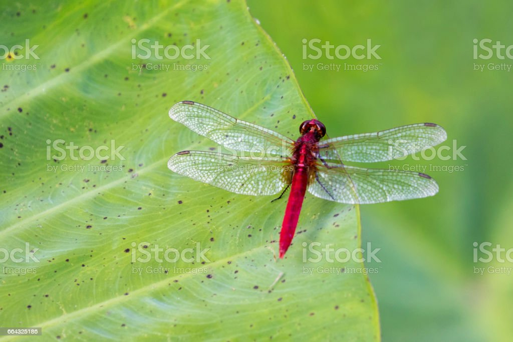 Image of red dragonfly perched on leaves. Insect Animals.