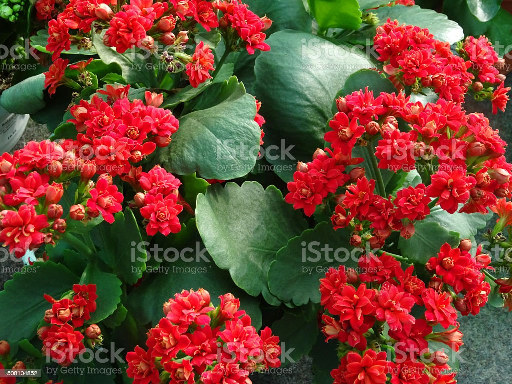 Image of red kalanchoe flowers on flowering succulent houseplant / indoor-plant stock photo