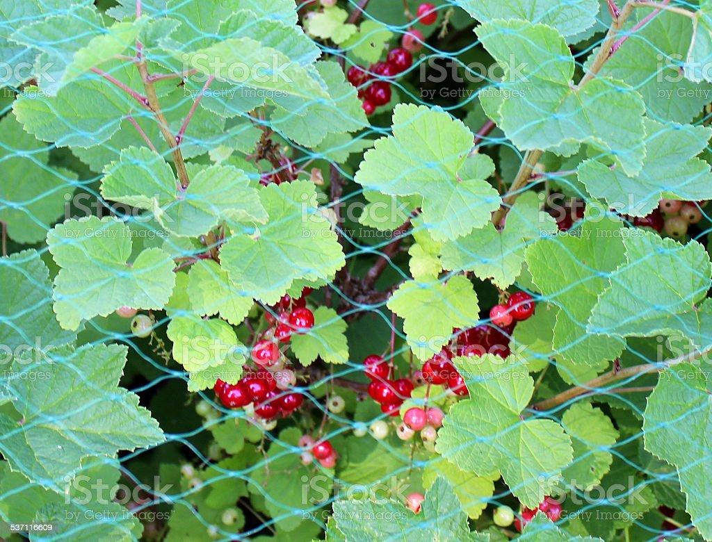 Image of ripe redcurrants (Ribes rubrum) growing under garden netting stock photo