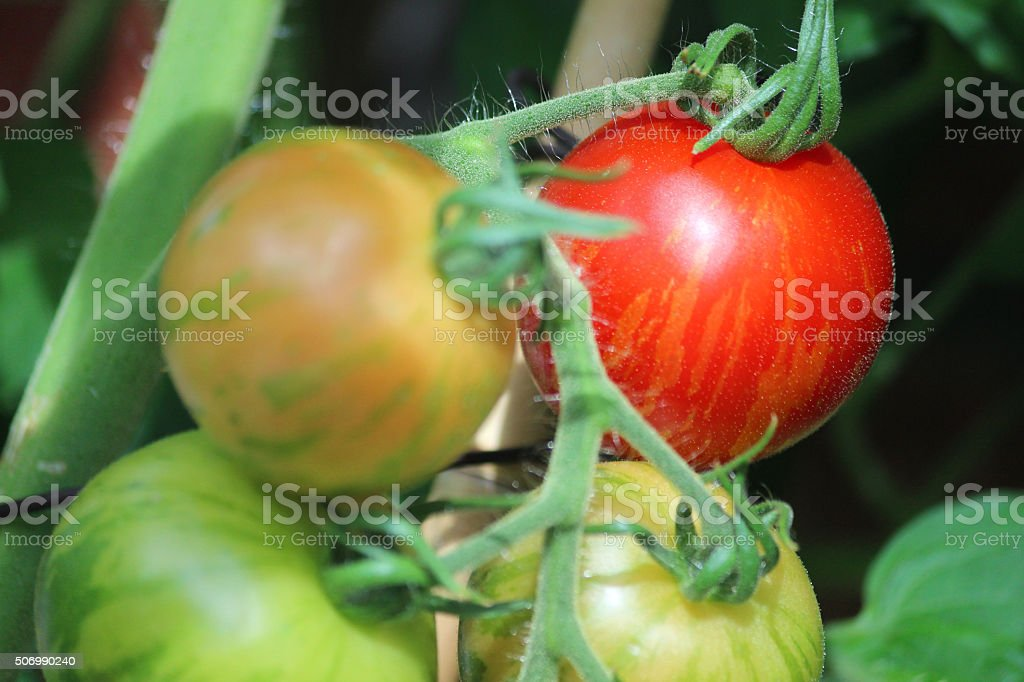 Image of ripening Tiger tomatoes growing on vine, tomato plant stock photo