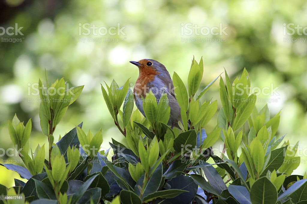 Image of robin red breast bird perched in bay tree royalty-free stock photo