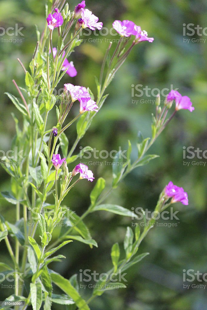 Image of rosebay willow herb, pink wild flowers, garden weed stock photo