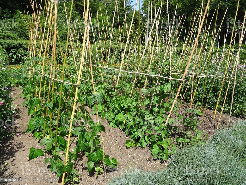 Image of runner bean plants growing in allotment vegetable garden stock photo