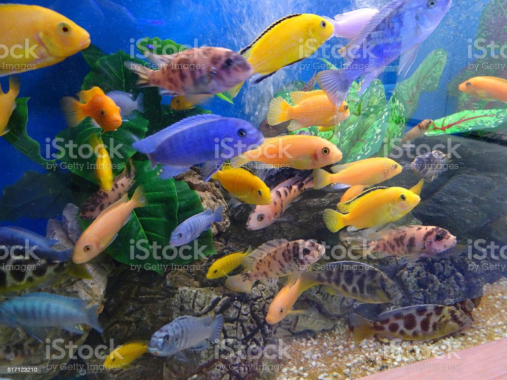 Image of school of Malawi cichlids in tropical aquarium / fish-tank stock photo