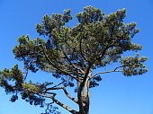 Image of Scots pine tree branches and needles (Pinus Sylvestris)