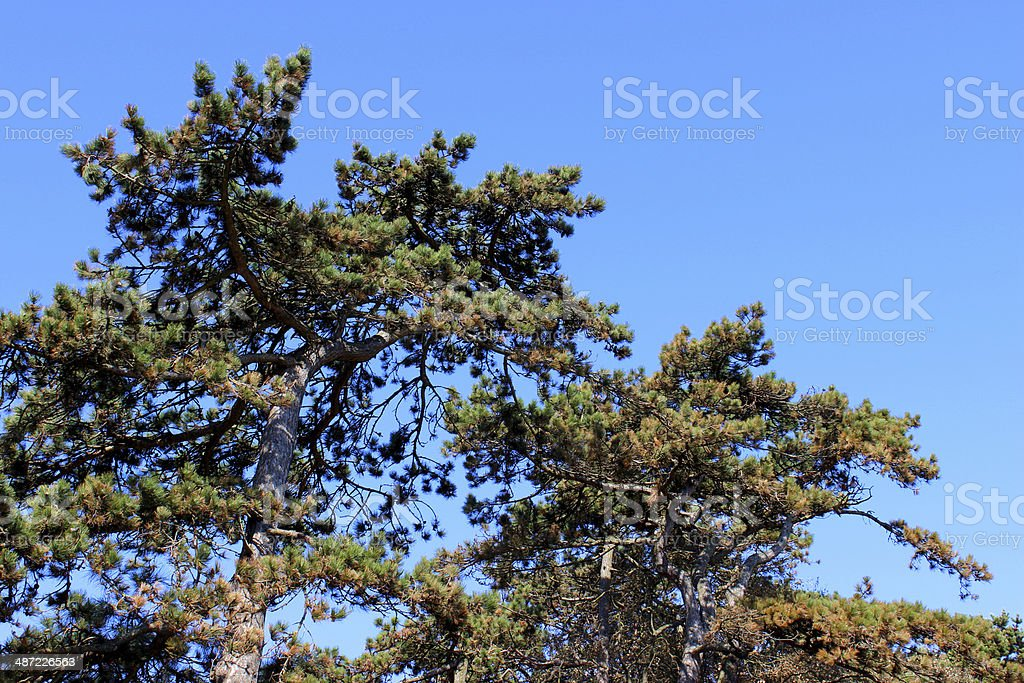 Image of Scots pine trees in park against blue sky stock photo
