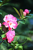 Image of shady garden with pink camellia flowers / ericaceous acid-soil