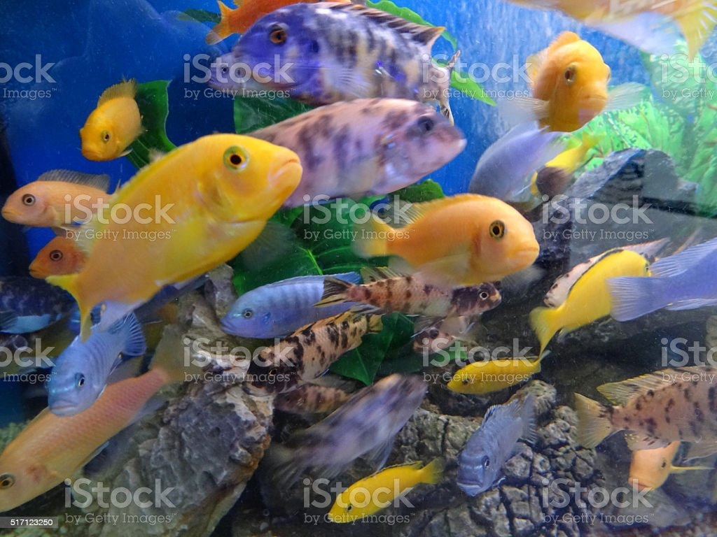 Image of shoal of Malawi cichlids in tropical aquarium / fish-tank stock photo