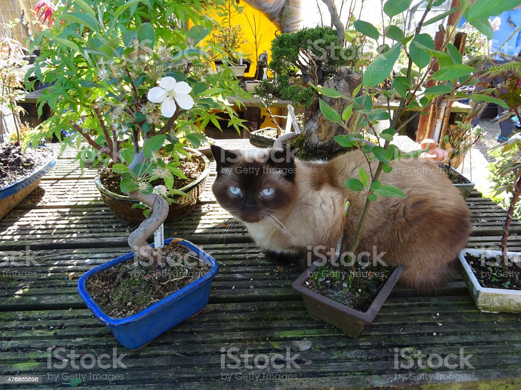 Image of Siamese / Balinese cat sitting with garden bonsai trees stock photo