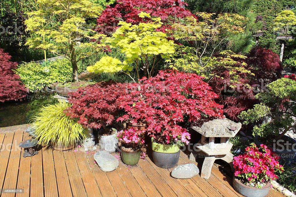 Image of small acers / maples on decking in back garden stock photo