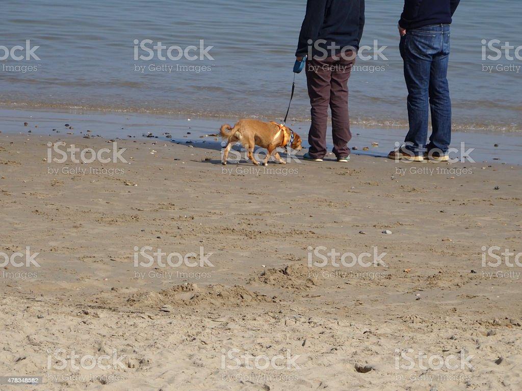 Image of small corgi cross mixed-breed dog walking on beach stock photo