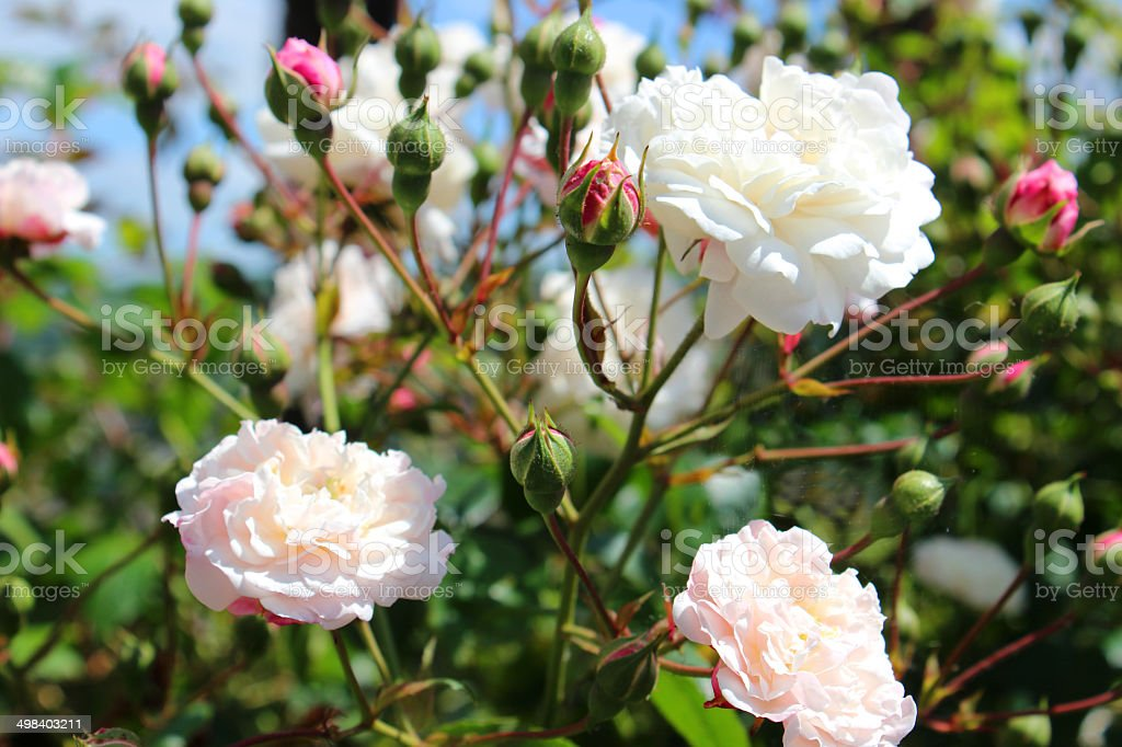 Image of small, pale pink roses against blue sky, climber royalty-free stock photo