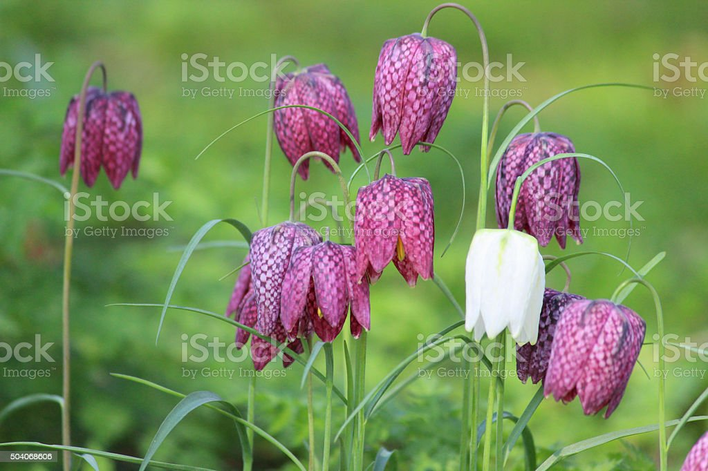 Image of snake's head fritillary flowers in woodland-gardens (flowering fritillaries) stock photo