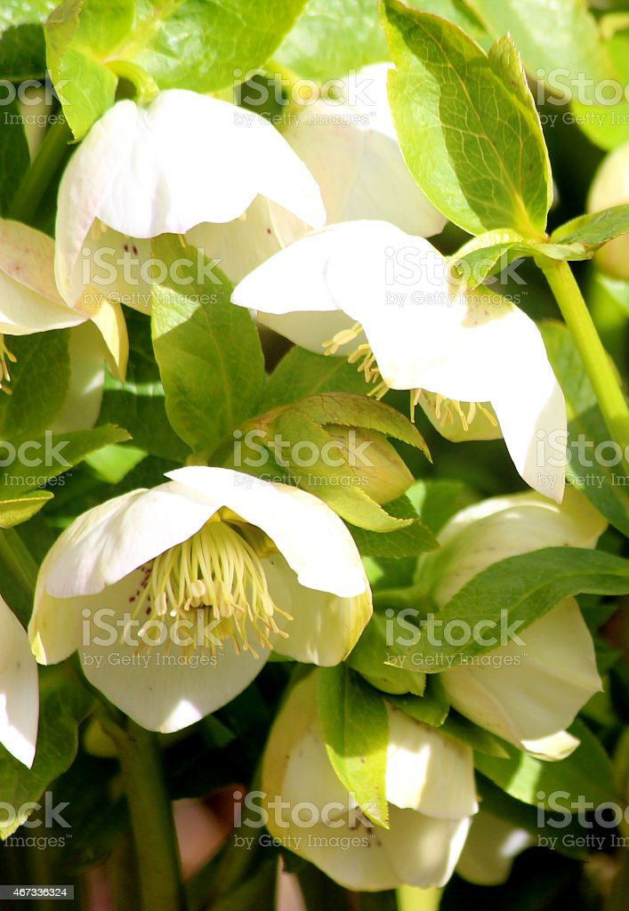 Image of speckled white hellebore flowers, flowering helleborus orientalis, Lenten-rose stock photo