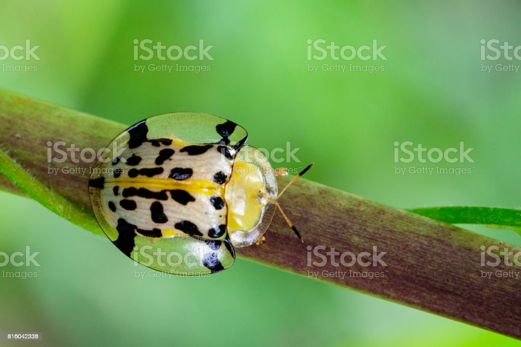 Image of Spotted Tortoise Beetle on branches. Insect Animal