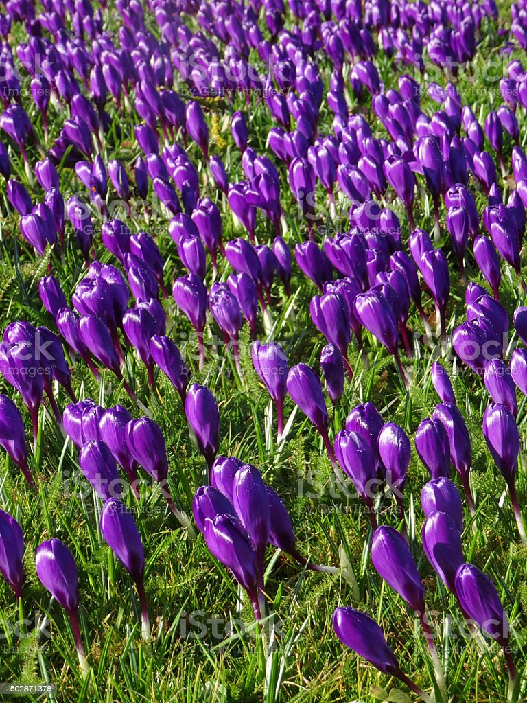 Image of spring garden lawn covered in purple flowering crocuses stock photo
