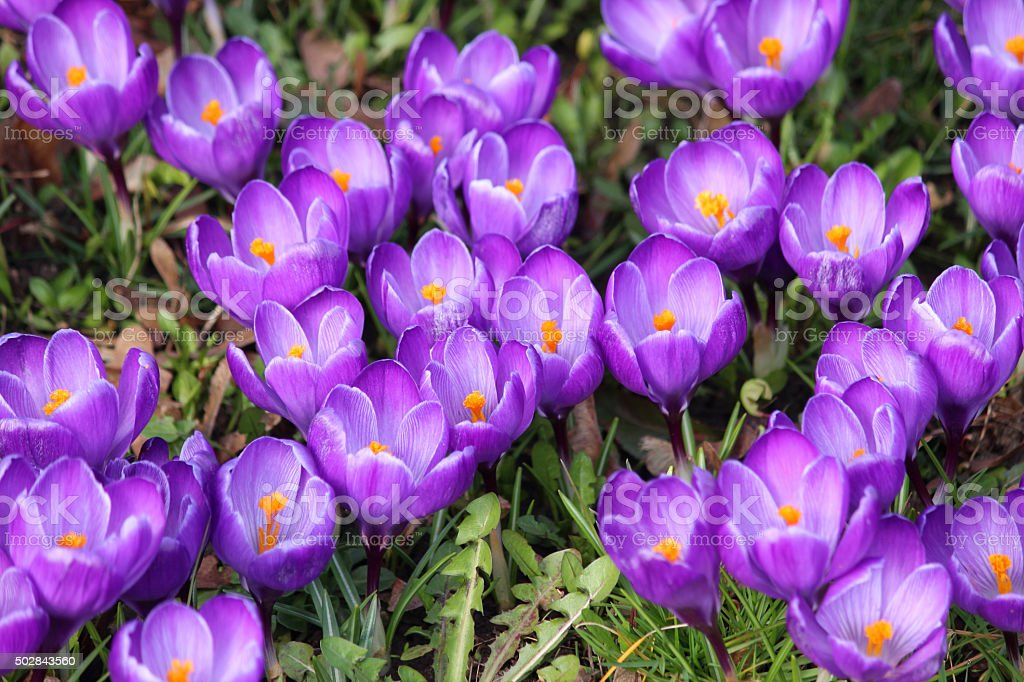 Image of spring garden lawn covered with purple crocus flowers stock photo