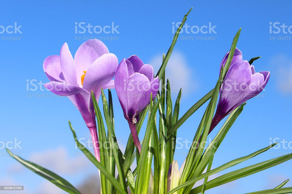 Image of springtime crocus flowers with sunny blue sky background stock photo