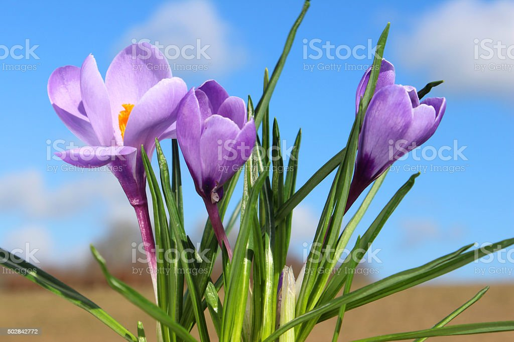 Image of springtime crocus-flowers with countryside background - blue sky stock photo