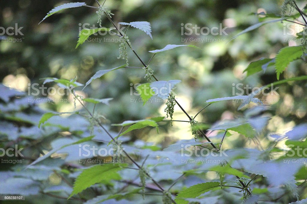Image of stinging nettles growing in woodland, in flower / flowering stock photo
