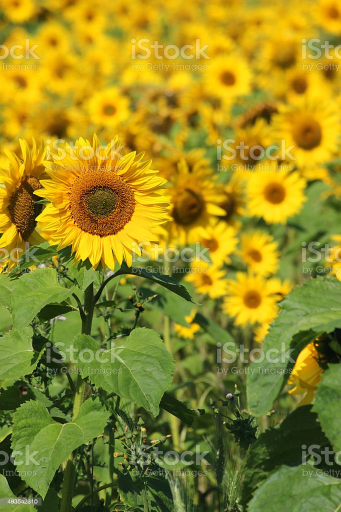 Image of sunflowers stretching into distance on farm, oil-crop / harvest stock photo