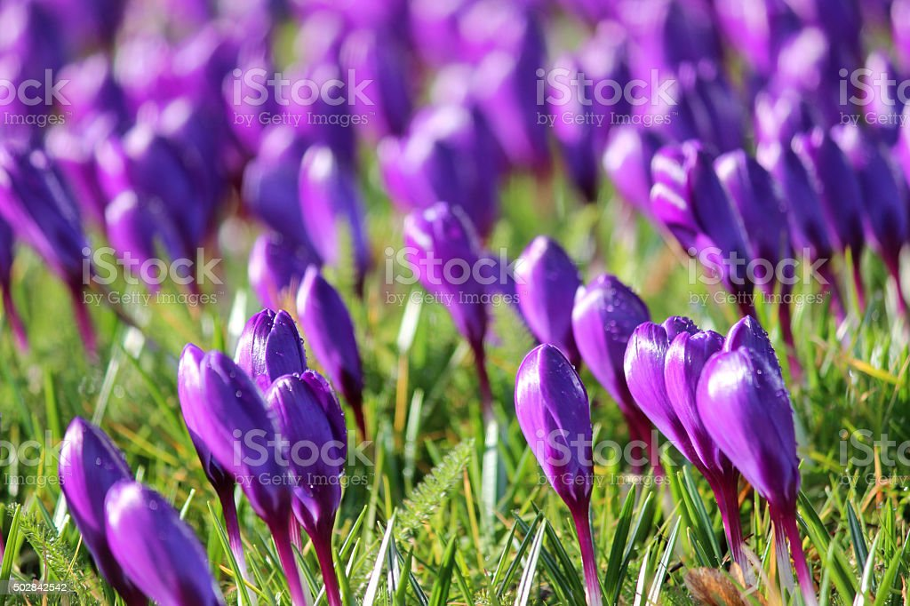 Image of sunny garden-awn carpeted with closed buds of purple-crocuses stock photo