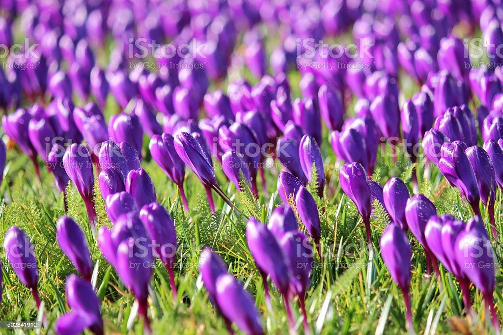 Image of sunny spring garden - purple crocus-buds on lawn stock photo