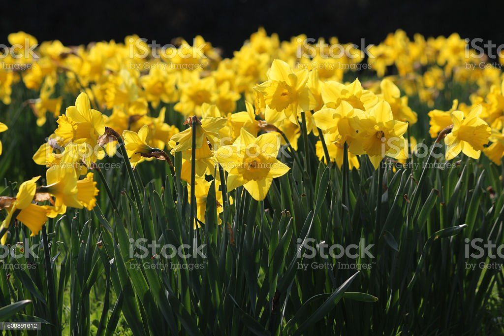 Image of swathe of yellow daffodil flowers (narcissus) in sunny-garden stock photo