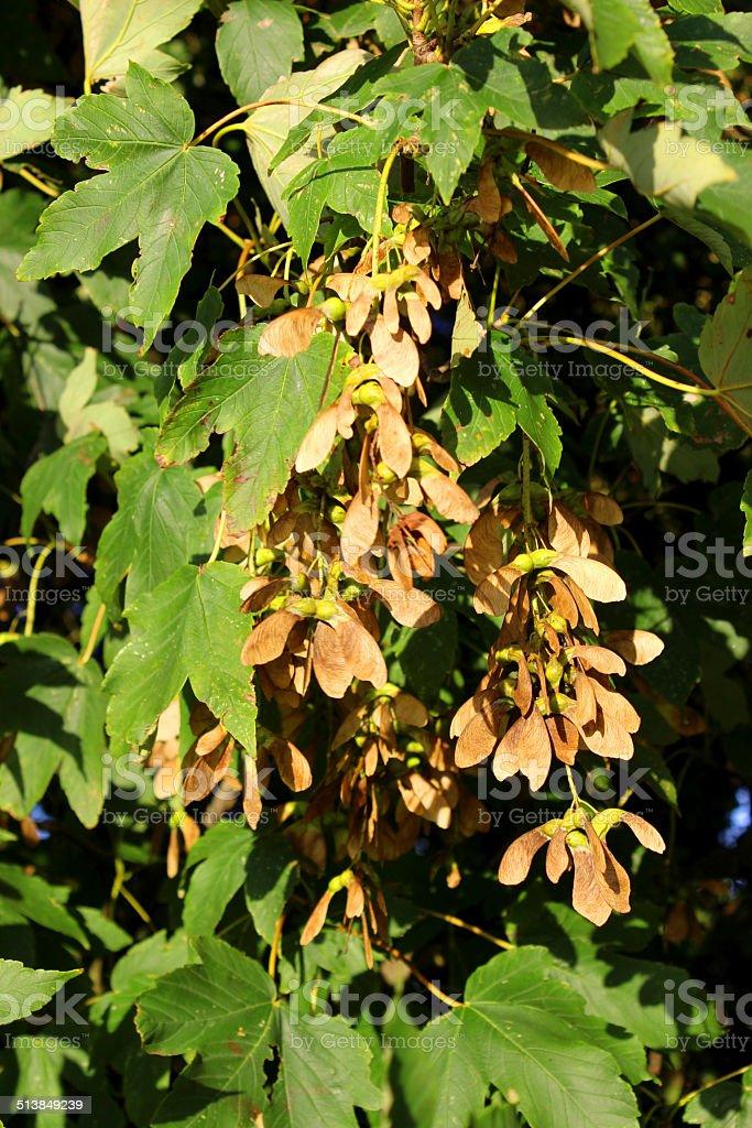 Image of sycamore tree seeds / helicopters / samaras / maple-keys (Acer Pseudoplatanus) stock photo