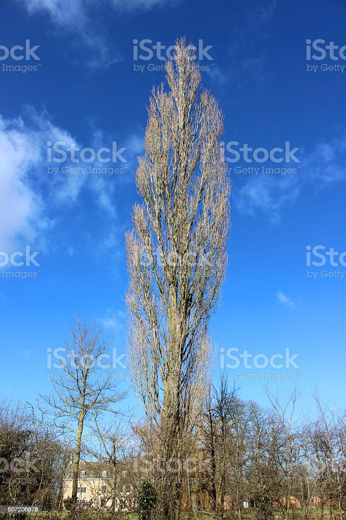 Image of tall deciduous lombardy poplar tree without leaves (Populus-nigra) stock photo