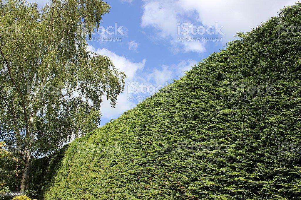 Image of tall Leyland cypress / Cupressus Leylandii hedge in garden stock photo