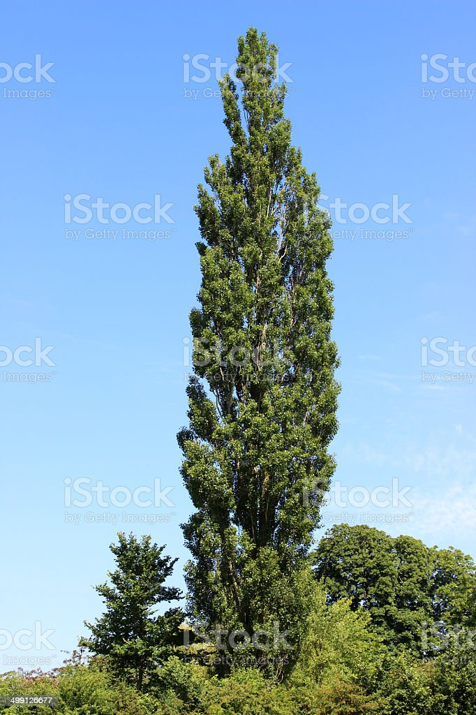 Image of tall Lombardy poplar tree (Latin: Populus nigra 'Italica') stock photo