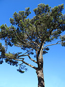 Image of tall Scots pine tree against blue-sky (Pinus Sylvestris)