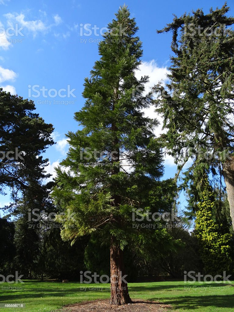 Image of tall sequoia redwood tree (wellingtonia / sequoiadendron-giganteum) in park stock photo