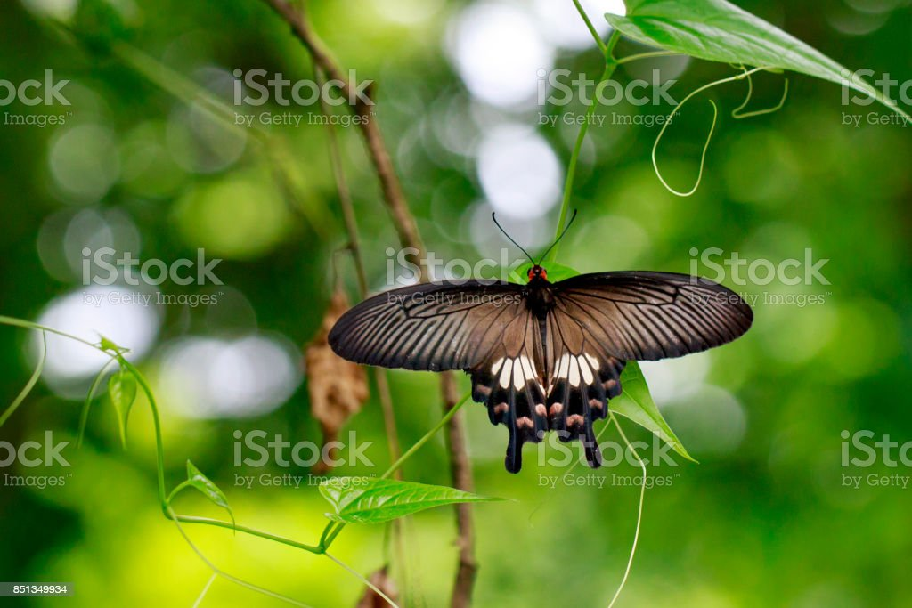 Image of The Common Mormon butterfly (Papilio polytes romulus) on nature background. Insect. Animal stock photo